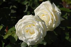 rosa pimpinellifolia(0.0), garden roses(1.0), rosa 㗠centifolia(1.0), floribunda(1.0), flower(1.0), yellow(1.0), rosa foetida(1.0), flora(1.0), petal(1.0),