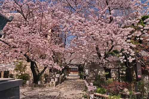 【写真】桜 : 墨染寺