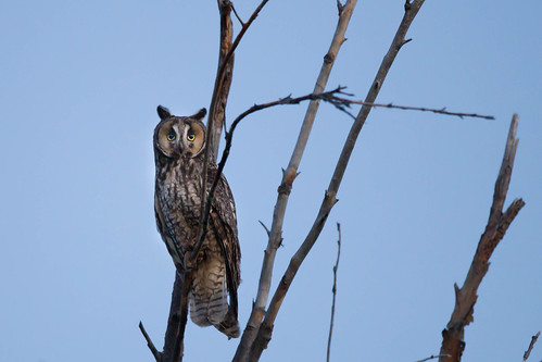 Long-Eared Owl, Pearrygin State Park