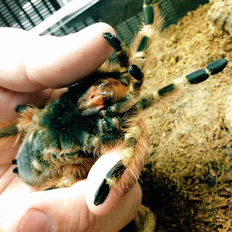 Melissa the tarantula's belly