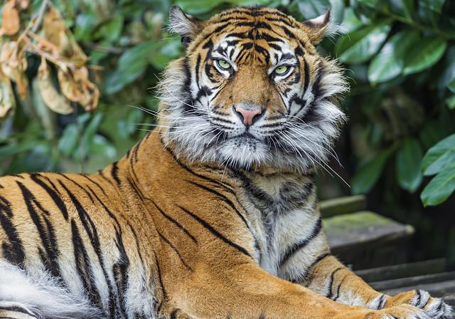 Beautiful lying Sumatran tigress