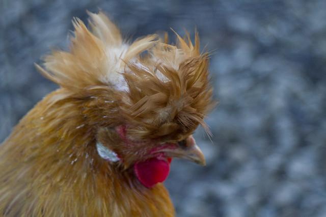chickens at Quivira winery (2013)