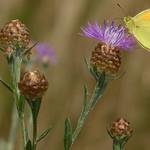 Oranje Luzernevlinder, een schaarse trekvlinder
