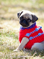 Pug puppy in sweater