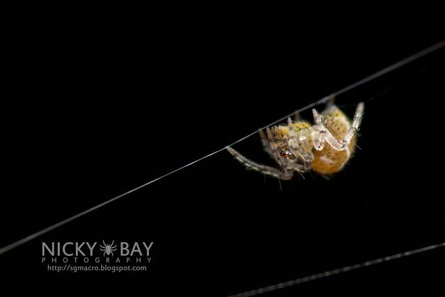 Minute Litter Spider (Mysmenidae) - DSC_3503