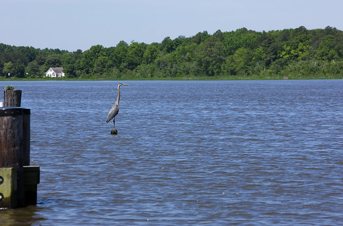 A blue heron on the Choptank River in Maryland, one of the benchmark watersheds that USDA researchers are evaluating as part of the Conservation Effects Assessment Project.