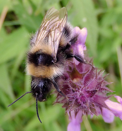 Fuji FinePix F600EXR.Super Macro Mode.Study Of A Bumble Bee On Marsh Woundwort Flowers.September 10th 2013.