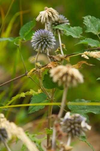 echinops bannaticus  3587