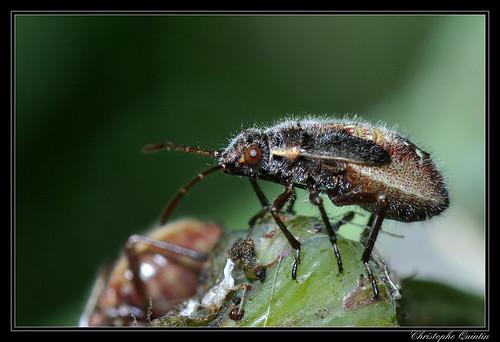 Liorhyssus hyalinus nymph