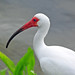 Small photo of American White Ibis (Eudocimus albus)