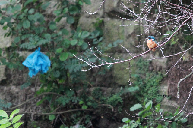 Kingfisher, River Aire,