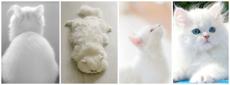 White Kitten Cats Facebook Timeline Cover
