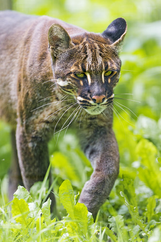 Asian golden cat III by Tambako the Jaguar