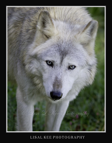 Gray Wolf ~ Wildlife Prairie SP by Lisa L Kee Photography