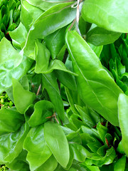 choy sum(0.0), komatsuna(0.0), malabar spinach(0.0), bird's eye chili(0.0), produce(0.0), food(0.0), vegetable(1.0), leaf(1.0), plant(1.0), herb(1.0), basil(1.0),