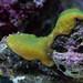 Small photo of Green Montipora (from Oceanarium)