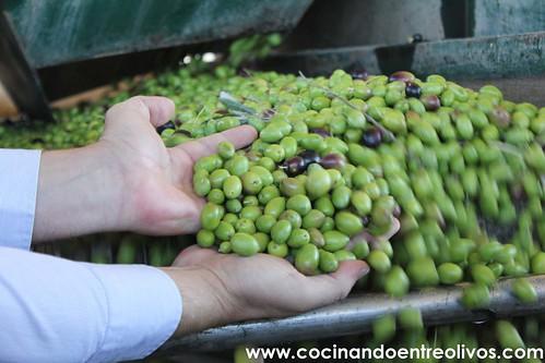 Dominus cosecha temprana www.cocinandoentreolivos (1)