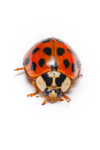 <p><i>Harmonia axyridis</i>, Coccinellidae<br /> Cameron, Burnaby, British Columbia, Canada<br /> Nikon D5100, 105 mm f/2.8<br /> December 14, 2013</p>