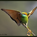 Green Bee Eater Series - PHOTO 1