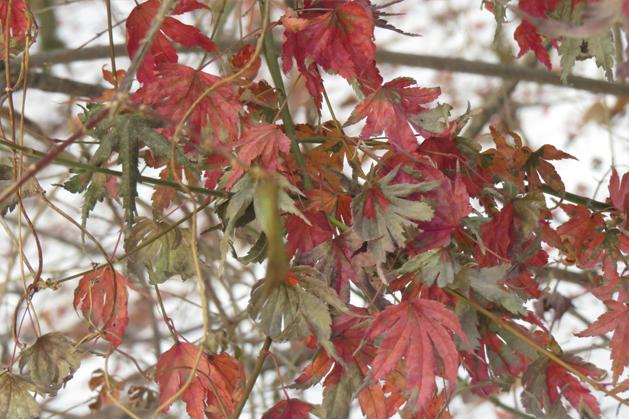 寒冷的冬天還存有未掉落的楓葉