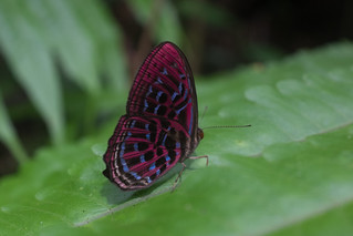Butterfly, Cameron Highlands