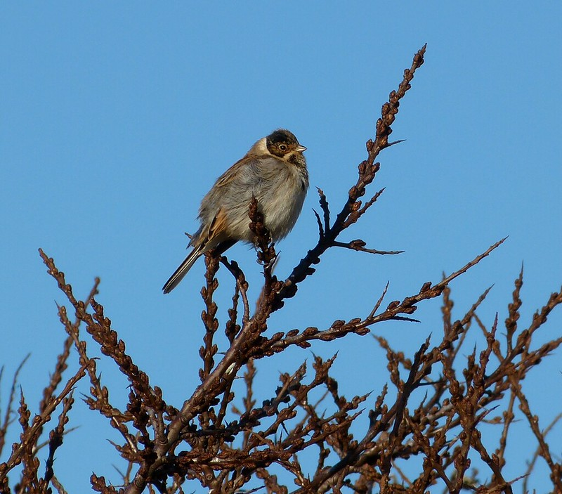 P1060683 - Reed Bunting, Llanelli