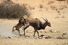 animal, antelope, wildebeest, mammal, horn, common eland, fauna, savanna, safari, wildlife,