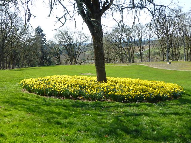 daffodil circle