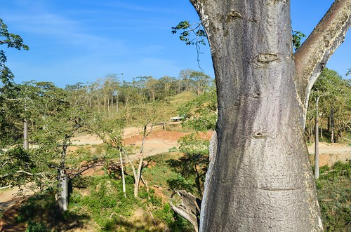 Baobabs de Bengo