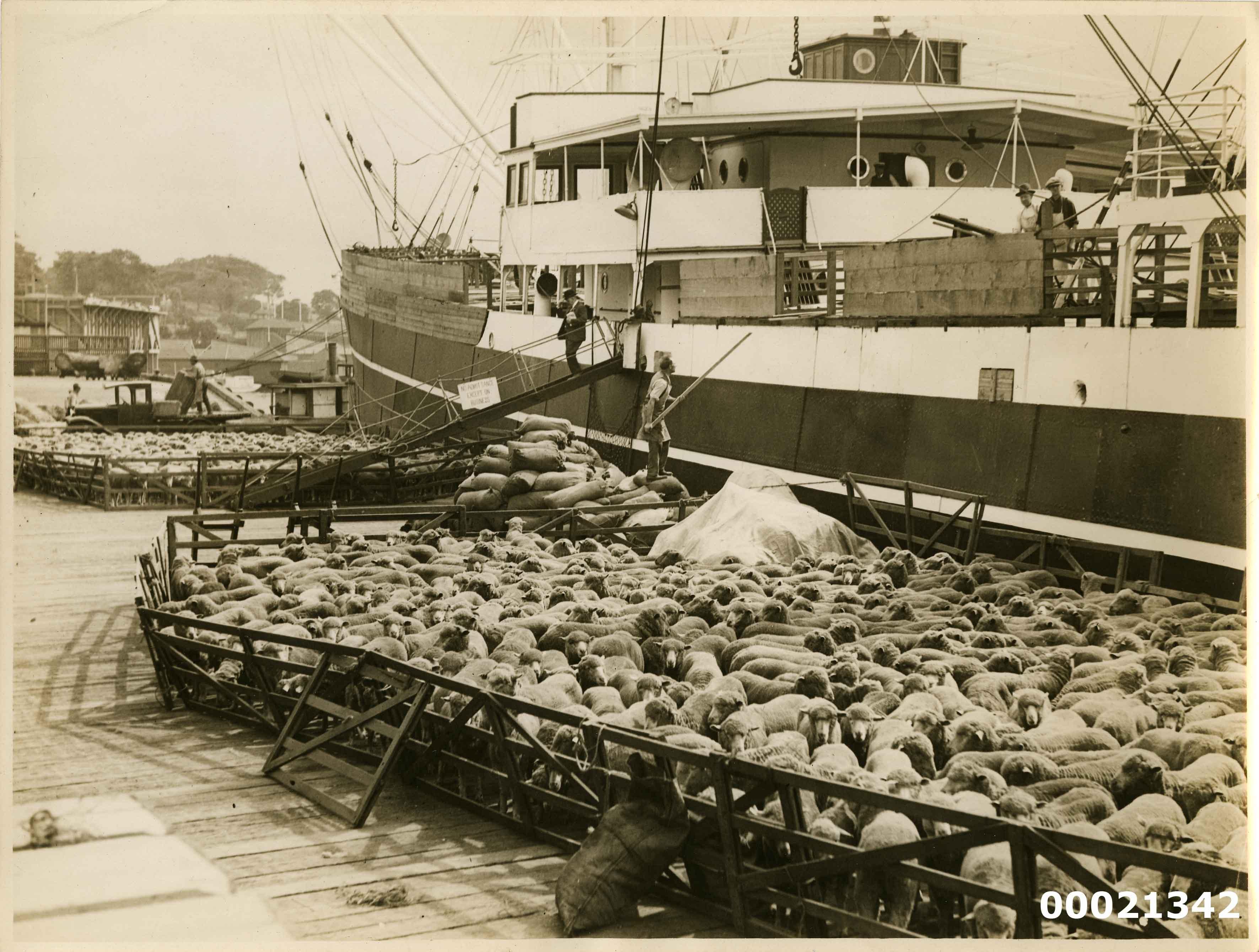 Loading sheep on board a merchant vessel possibly at west Woolloomooloo Bay wharf