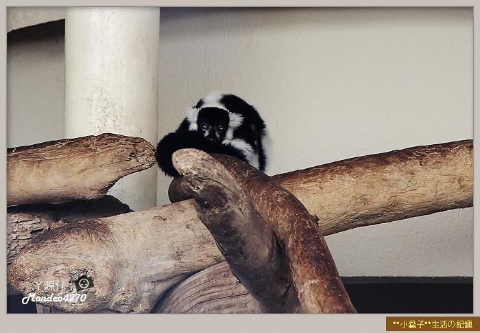 木柵動物園(圓仔)42