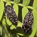 Metallic Wood Boring Beetles (Acmaeodera griffithi) by Lon&Queta