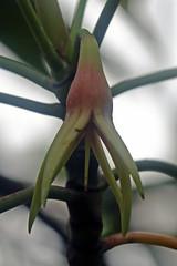 Rhizophoraceae - Mangrove