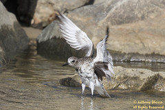 Black-bellied Plover (2146)