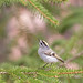 Golden-Crowned Kinglet by glenda.suebee