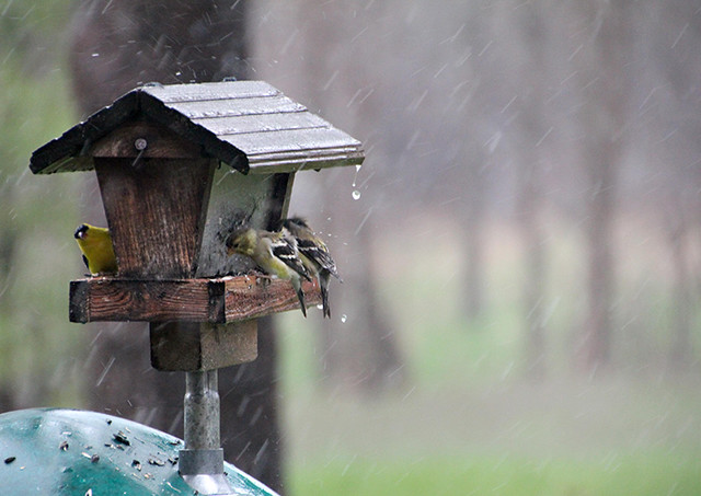 Goldfinch in a Downpour