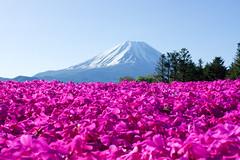 芝桜と富士
