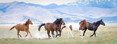 Wild Horses April 2017