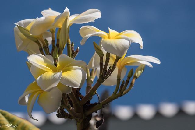 fleur de frangipanier, Panasonic DMC-GX8, Lumix G X Vario PZ 45-175mm F4.0-5.6 Asph. Power OIS