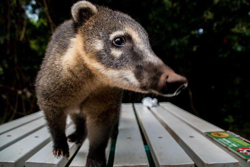 Curious Coati (type of raccoon) in Iguazú, Argentina.