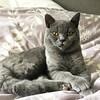 Handsome boy at 7 months old... #nofilterneeded #britishblue #britishshorthair #catstagram #cats #teddymcdoig :paw_prints::heart:️:smiley_cat: