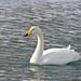 Whooper Swan (Dani Free)