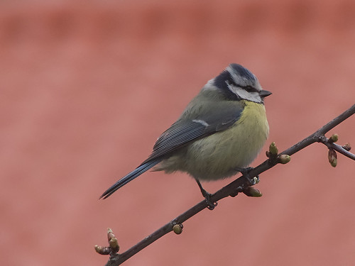 håkan jylhä sweden sverige fågel bird red blåmes panasonic fz300