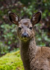 Young doe, head shot