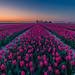 Sunset @ Tulips by Marcel Tuit | www.marceltuit.nl