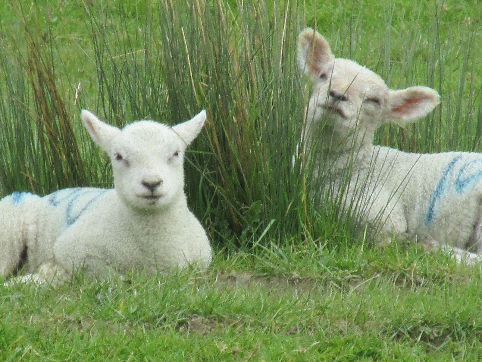 April 17, 2017: Uckfield to Lewes Two lambs resting by the River Ouse.