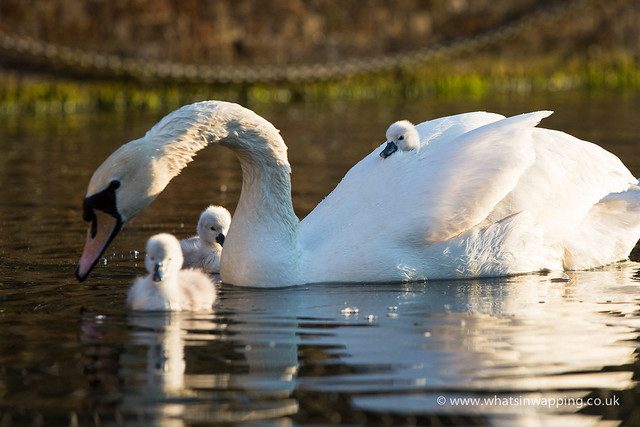 Cygnet rides on mother swans back