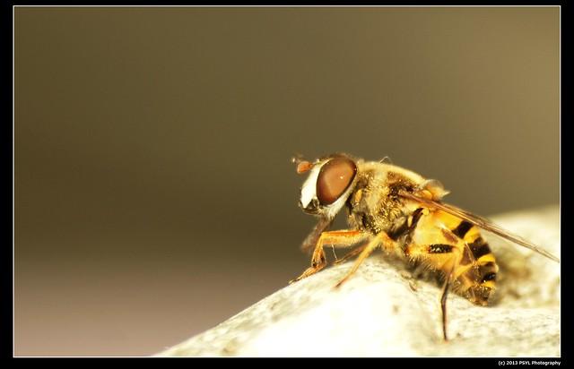 Flower Fly (Family Syrphidae)