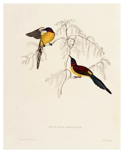003-Cinnyris Gouldiae-A Century of Birds from the Himalaya Mountains-John Gould y Wm. Hart-1875-1888-Science Naturalis