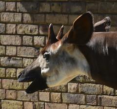 London Zoo, Okapi